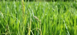 žuta rđa siva pegavost prihrana pšenice faze razvoja