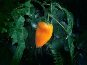 paprika uticaj nekroza vrha ploda zeleno uvenuće mleko štiti organskapaprika vlažna paprika trips organska bakterize paprike
