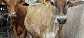jersey telenje krava lečenje životinja genomska selekcija