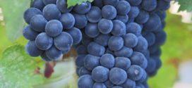 grozd rane sorte kvalitetne sorte koeficijent rodnosti