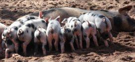 ishrana krmača neuroza krmače prasad ishrana priplodnih ishrana svinja izostanak mleka prašenje mlečnost krmača
