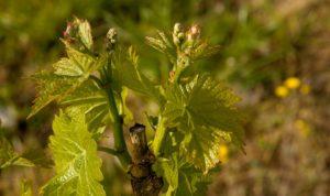 grinje vinove prihrana vinove loze