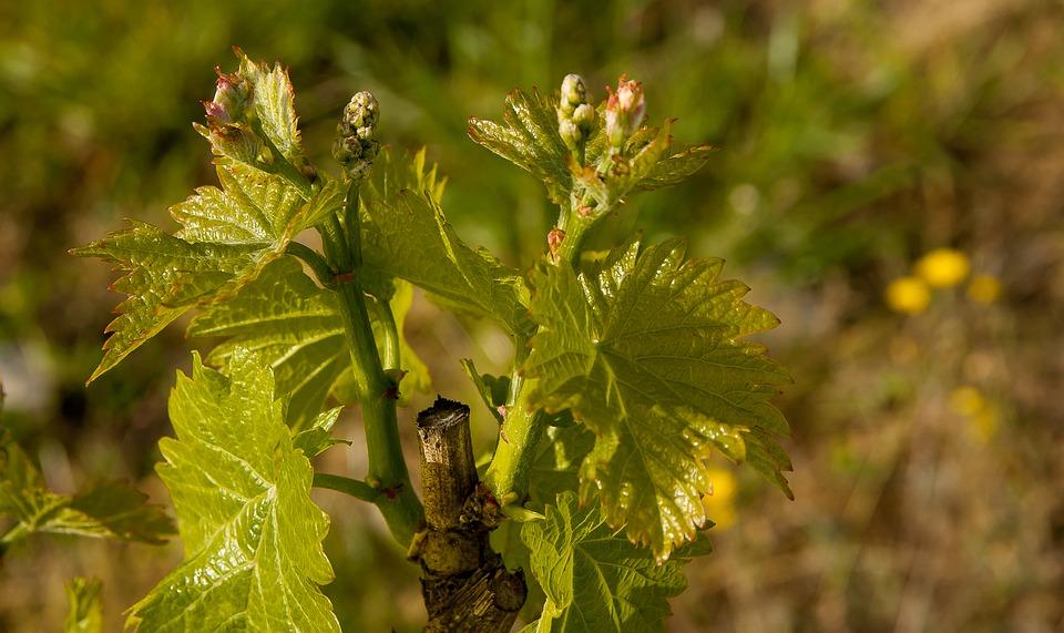 grinje vinove