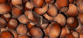 leska - štetnici uzgojni oblici orezivanje leske leska plodovi