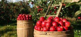 prodaja jabuke vivo sajam rusija gaji jabuka rodila savetovanje poljoprivredni jabuka puno