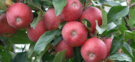irig sajam perspektive voćarstva vivo sajam maline jabuke rusija uloga makroelemenata jabuka uvoz autohtone sorte jabuka boja jabuke izvoz poljoproizvoda jabuka boja djubrenje voćnjaka prinos kalijum reguliše savetovanje za jabuka voli rezidbu