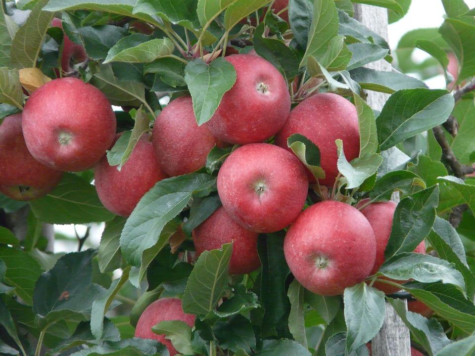 maline jabuke uloga makroelemenata jabuka uvoz autohtone sorte jabuka boja jabuke izvoz poljoproizvoda jabuka boja