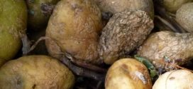 krompir plamenjača krompira bolesti krtola bolest krompira