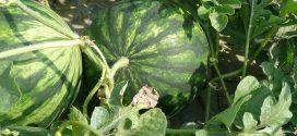 lubenice vaši grinje
