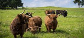 škotsko goveče