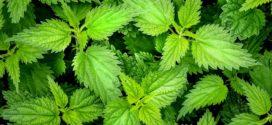 kopriva organsko đubrivo biljke koje štite