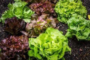 biljna ulja salata tokom cele godine azot u povrtnjaku bolesti salate