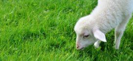 zasnivanje travnjaka jagnjenje livade