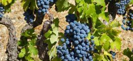 rejonizacija cokot čokoti u paru sajam vivo vinograd koliko
