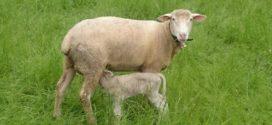 porozne kosti jagnjad jagnjenje ovca mleko british milkship ishrana bremenitih podsticaji 2018. ovce bremenitost ishrana ovaca tov ovaca
