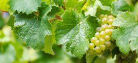 rizling italijanski autohtone sorte vinove loze