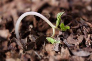 primingovano poljska klijavost premingovano seme klijavost semena đubrenje depozitorima ph vrednost organsko seme