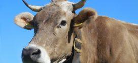 smeđe goveče krava