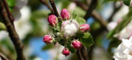 kalem vosak rutava buba voćnjak oprašivanje cvetni pupoljci zaštita bakteriozna alternativna rodnost za rezidbu jabuka rezidba voća pepelnica jabuke urea u jesen