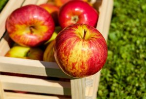 jabuka svet stratifikovanje semena bolesti u jabučnjaku jabuka trešnja nove sorte jabuka