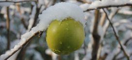 jabuka zaštita sneg u zimsko kalemljenje