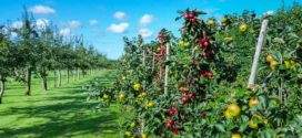 intenzivni zasadi primena zeolita miner knip sadnice bolesti savetovanje navodnjavanje jabuke brati
