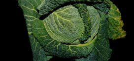 buvač kupus zahtevi crna trulež berba kupusa biljna ulja molibden sumpor u ishrani zbijenost glavice rasol od kiselog