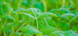 paradajz seme orošavanje rasad paradajza seme elementi neophodni pikiranje rasada prihrana povrća setva paradajza zaštita rasada ph vrednost