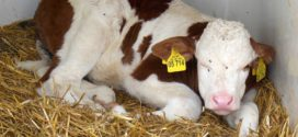odgoj teladi krava tele Embriotransferi kućica za telad diareja kod tov junadi hit