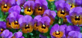 viole ukras