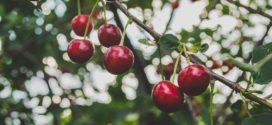 prihrana višnje rezidba voćaka višnje trešnja višnja formiranje rezidba višnja zelena rezidba ospičavost lišća formiranje krune meliorativno đubrenje