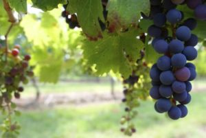 vinogradarski registar virusi bakar botritis vinograd đubrenje vinova loza bor mikroelement