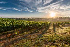 podmlađivanje rekonstrukcija vinograda visoke temperature smederevka ipard investicije vinograd zimsko mirovanje vinograd visoke temperature