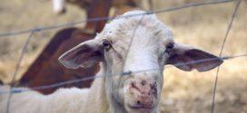 jagnjenje ovaca jagnje ovce za tov zimska ishrana kvalitet selekcija ovaca