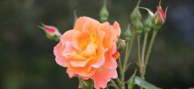 proizvodnja ruža vreme sadnje ruže traže sadnja ruža