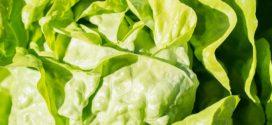 salata sadnja salate salata bolest