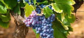 maceracija kvalitet grožđe u hladnjače vinograd visoki prinosi promene na grožđu prinos grožđa