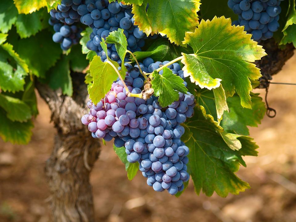 maceracija kvalitet grožđe u hladnjače vinograd visoki prinosi promene na grožđu