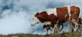 krompir siliranje STOČNI KELJ kalijum manjak jalovost trave kao lekovi zimska ishrana tov junadi konkurs za opremanje kalcijum trave bolesti papaka goveda stočna so