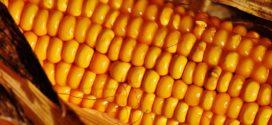 kukuruz vlažnog zrna gustina sklopa dan polja otkup kukuruza kukuruzna siva divlji sirak kukuruz kvalitet tržište