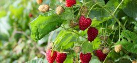 malina ljubičasta sadnja maline aminokiseline plodovi maline