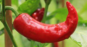 paprika ljuta zeolit pomaže kalijum zadruge za bolji