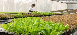 grejanje plastenika salata tresetna mušica plastenik zeleni krovovi konkurs za biljnu provetravanje salata u plasteniku provetravanje plastenika plastenik 10 plastenici zimi