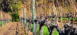 rodni elementi rezidba odlučuje period mirovanja skidanje lastara na rezidbu bolesti vinove loze