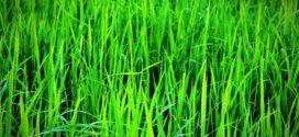 kamut herbicid fungicid pšeniva njena azot višak
