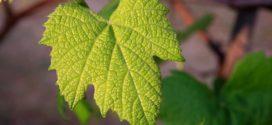 vinogradarski egistar vinograd mladi