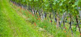 vinograd lozne grahorice rezidba lozne podloge za vinovu lozu tri osnovna principa faze razvoja vinograd lozna