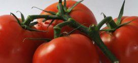 prihrana paradajz ZDRAVLJE plodored paradajza stenica paradajz u plasteniku