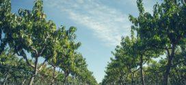jesenje đubrenje rezidba voća budžet dobit gajenje potkornjaci asanacija voćnjaka