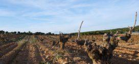 čokot izbor vezivanje visina stabla čokota rezidba vinove loze špalirni način rezidba vinove loze rezidba na zrelo